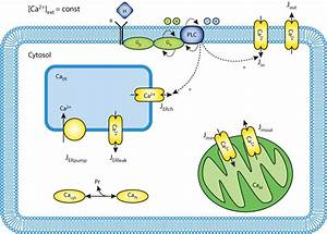 Mitochondria Regulate The Amplitude Of Simple And Complex Calcium Oscillations  U2014 Physiome Model