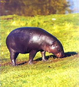 Pygmy Hippo (Choeropsis liberiensis) {!--애기하마, 피그미하마 ...