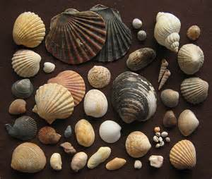 Image result for different seashells