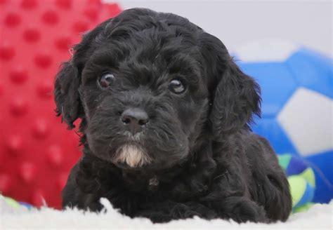 cavoodle puppies  sale chevromist kennels puppies