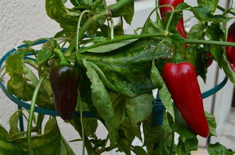 potager int 233 rieur ou ext 233 rieur pot pour plantes