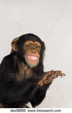 stock of chimpanzee clapping and smiling des08065 search stock mural