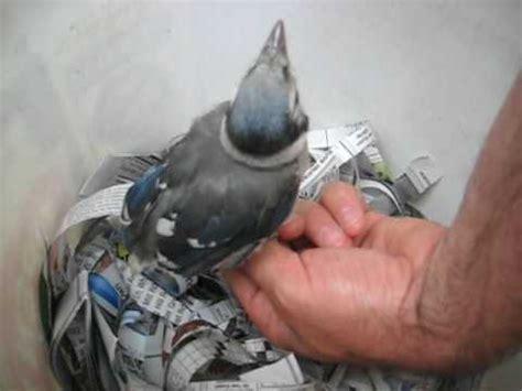 feeding a baby blue jay fledgling youtube