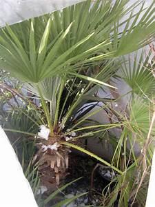 Welche Erde Für Palmen : palmen alle gattungen iii beliebte pflanzen erfahrungen green24 hilfe pflege bilder ~ Watch28wear.com Haus und Dekorationen