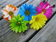 Colored Daisy Flowers