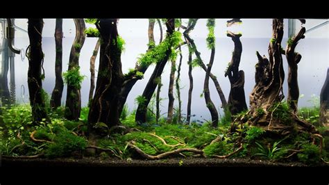 Nature Aquascape by Aquascape Nature Aquarium Aquascaping Forest Day 115