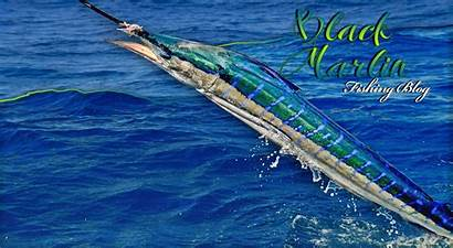 Marlin Desktop Striped Fishing Wallpapers Triple April