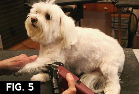maltese short pet trim groomer  groomer pet grooming