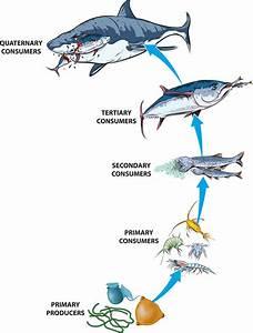 Marine Food Chain - KidsPressMagazine.com
