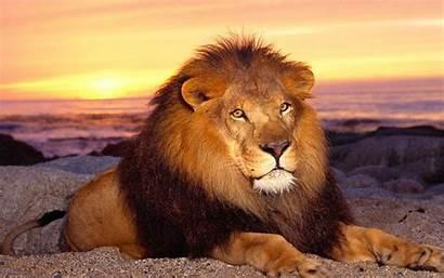 Lion African Desktop Wallpapers Africa Background Computer
