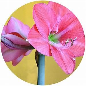 Amaryllis In Wachs : amaryllis umtopfen schritt f r schritt amaryllis in ~ A.2002-acura-tl-radio.info Haus und Dekorationen