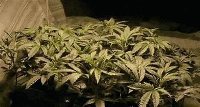 Seeds Cannabis Wholesale Feminized Trust Growth