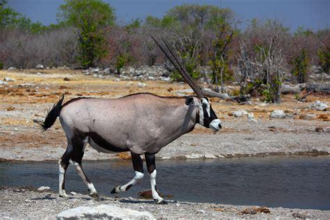 Oryx Wikipedia