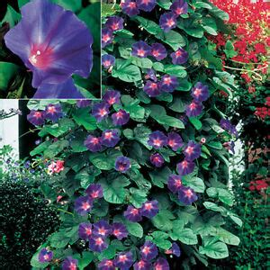 Morning Glory Seeds Star Of Yelta Gorgeous Annual Climbing