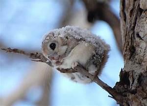 Baby Japanese Dwarf Flying Squirrel | www.imgkid.com - The ...