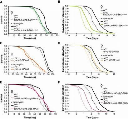 Rapamycin Span Extension Mediated Blocked Drosophila Ubiquitous