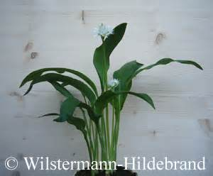 Allium Pflanzen Im Frühjahr : b rlauch im topf ~ Yasmunasinghe.com Haus und Dekorationen