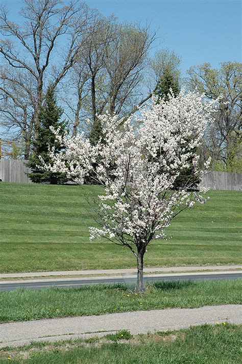 white flowering plum tree five great small trees that give back in big ways tagawa gardens blog