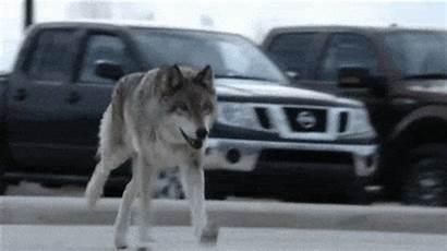 Attack Animal Wolves Zoo Unbelievable Tv Season