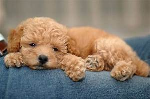 Cute Dogs|Pets: Cute Coffee Poodle Puppy Pictures-Sweet ...