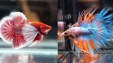 beautiful types  betta fish  contest youtube