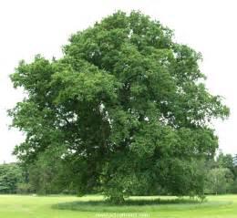 Common Oak Tree