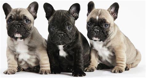 dog food   french bulldog