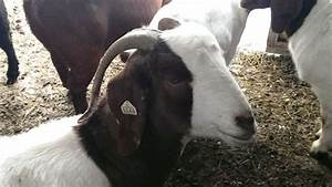 Boer goat doe | Our Boer Goat Does | Pinterest