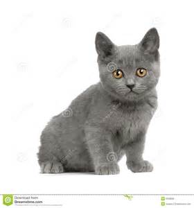 chartreux cat price chartreux kitten royalty free stock photo image 2328695
