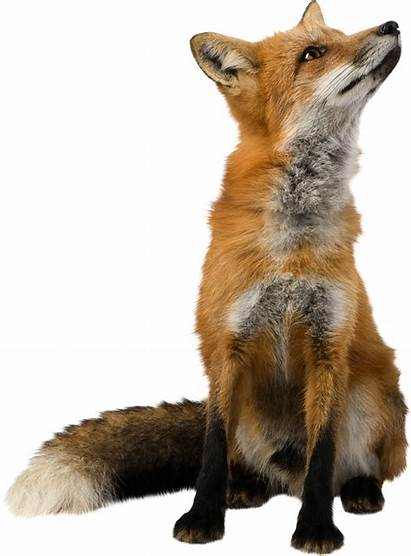 Fox Transparent Clipart Renard Animal Fond Carnivore