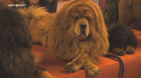 le canapé le plus cher du monde extrait sept à huit le chien le plus cher du monde lci