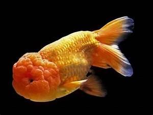 Everything about Lionhead GoldFish - YouTube