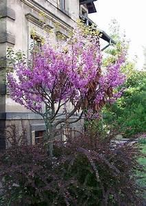 Baum Kleiner Garten : cercis siliquastrum gemeiner judasbaum ~ Orissabook.com Haus und Dekorationen