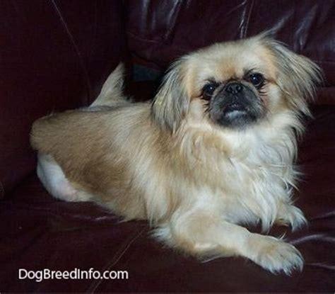 pekingese dog breed pictures
