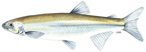 australian grayling fish species education fisheries