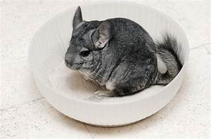 Chinchilla Characteristics Care Guide