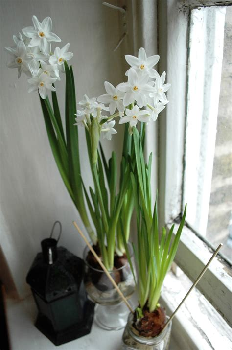 flowering paperwhite bulbs style influence