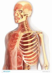 Anatomy - Medical Illustration
