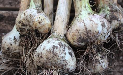 menanam budidaya bawang putih  pot polibag