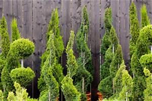 Wann Schneidet Man Thuja : koniferen pflanzen und pflege anleitung ~ Lizthompson.info Haus und Dekorationen