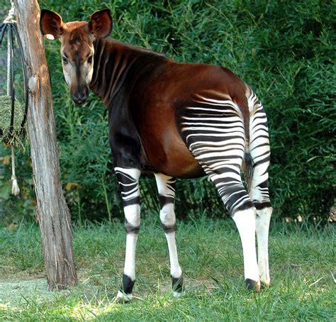 Okapi Facts, Habitat, Diet, Predators, Adaptations, Pictures
