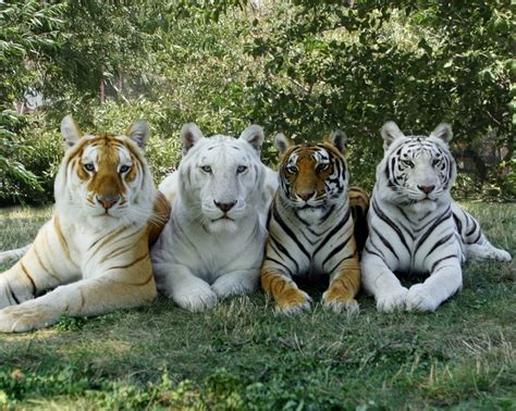 Featured Here Are Our Cherished Bengal Friends Stars