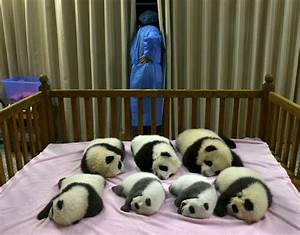 Cute baby pandas born in China (5 pics) Funny Animal ~ I ...