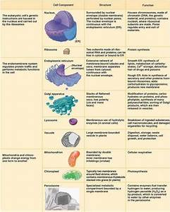 The Different Eukaryotic Cell Organelles