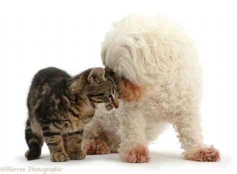 pets tabby kitten face  face  bichon frise photo