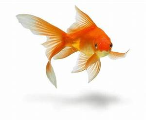 How To Care For A Goldfish Won At Carnival Or Fair
