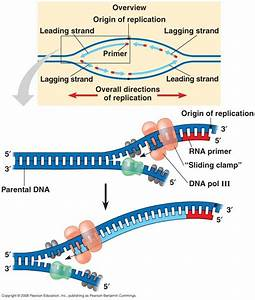What Is An Rna Primer And What Is Its Purpose