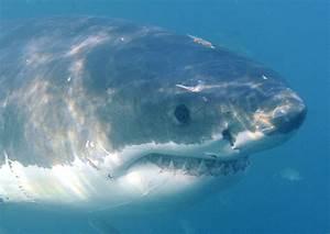 Messina, le immagini di un grande squalo bianco Live Sicilia