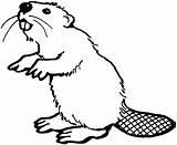 Beaver Coloring Pages Animals Teeth Wildlife Beavers Printable Animal Cute Drawings Bever Drawn Castor American sketch template