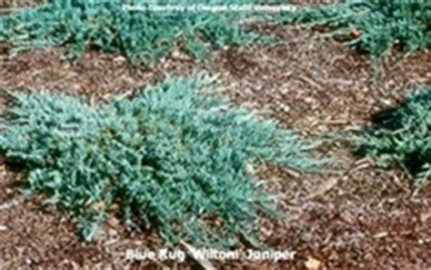 blue rug juniper for blue rug wiltoni juniper